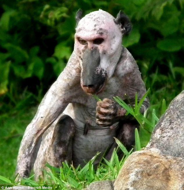 Bald baboon