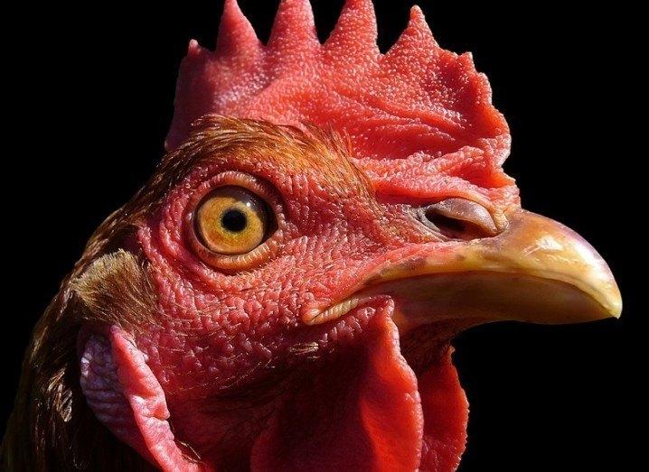 Ig Nobel Prize 2015 chicken