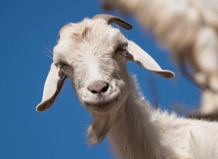 Viral videos goats