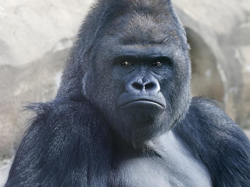 Apple iPhone photos fascinate gorilla at zoo