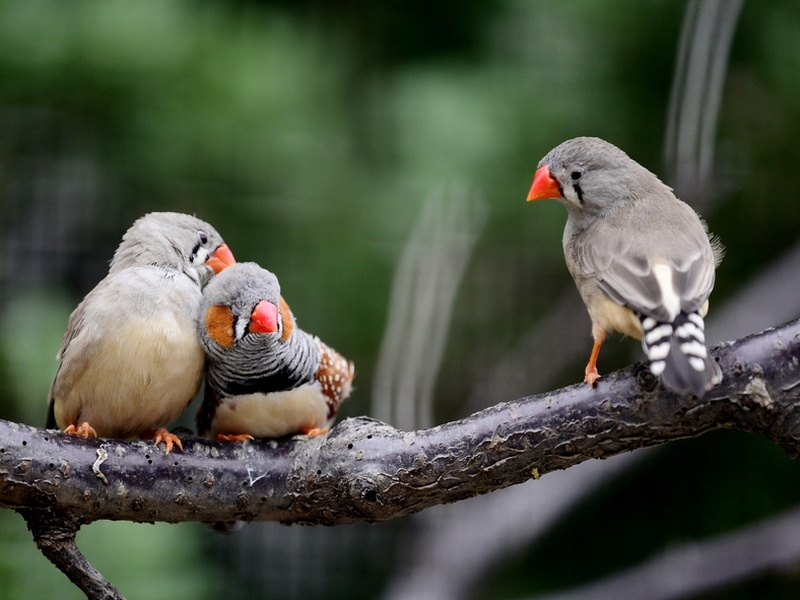 Zebra finches don't do forced marriages, they're into real love
