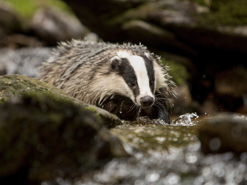 Irish female badgers really play the percentages well