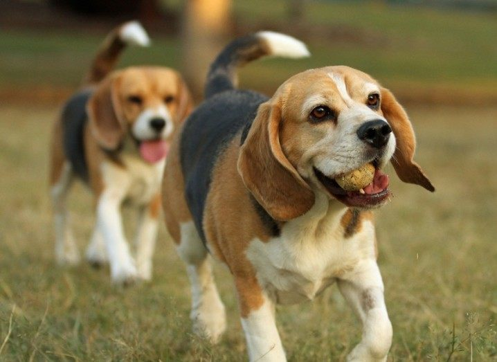 Beagles | CRISPR-Cas9 | Designer dogs