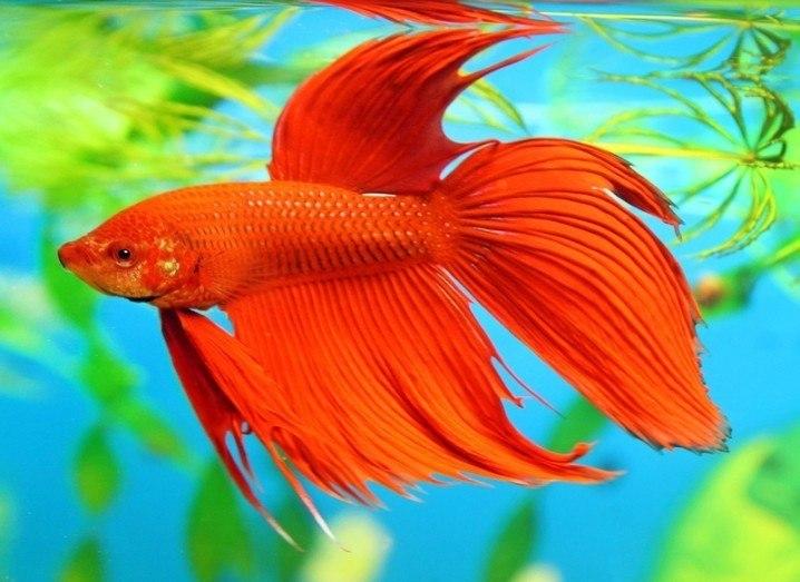 AquaJar: betta fish