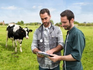 Agri-tech: vets consulting in a field, cow