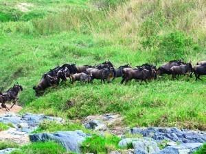 Wildebeest migration on Periscope