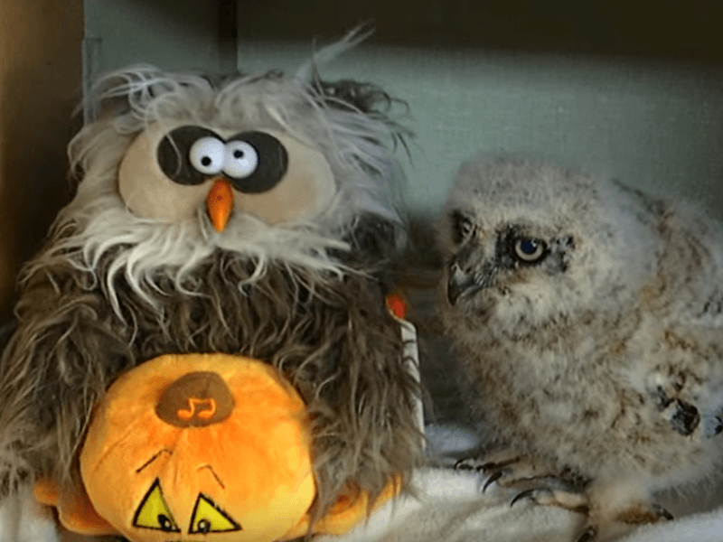 Wise use of Monster Mash delights orphaned owl (video)