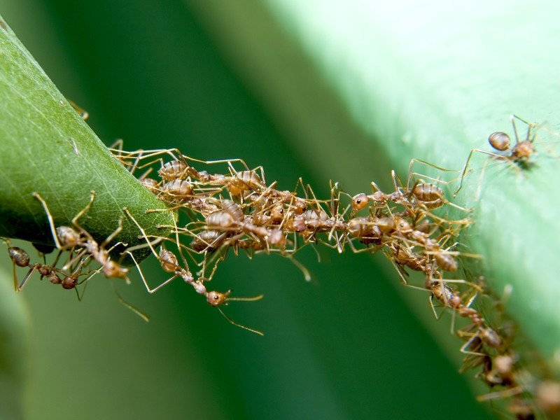 Ant bridges can shimmy along walls to span wider gaps
