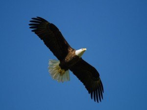 How birds navigate flying eagle