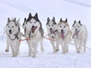 Huskies | Christmas shopping