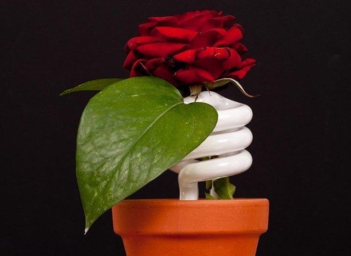 Rose | Flower