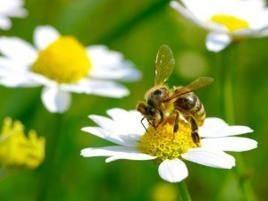 Bees pollination