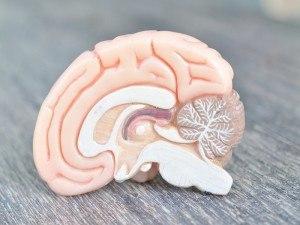 Male vs female brain