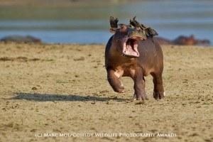 Funny animal photos hippo