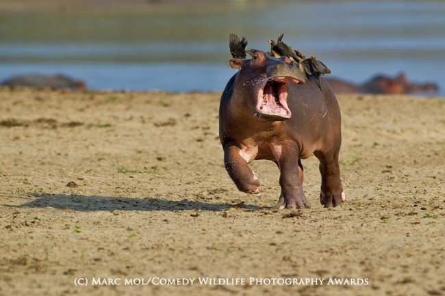 Funny animal photos hippo