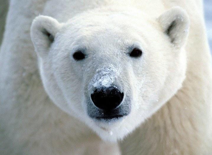 Polar Bear | COP 21 Paris Climate change