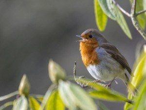 Robin _ Irish national biodiversity indicators