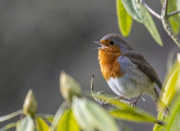 Robin _ Irish national biodiversity indicators