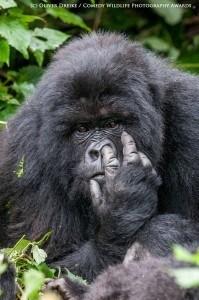 Funny animal photos gorilla