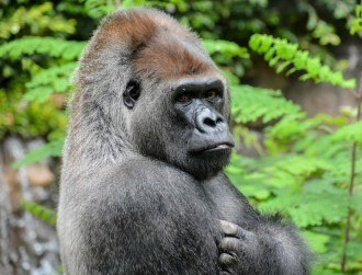 Shabani the handsome gorilla – the 2015 meme we went ape for