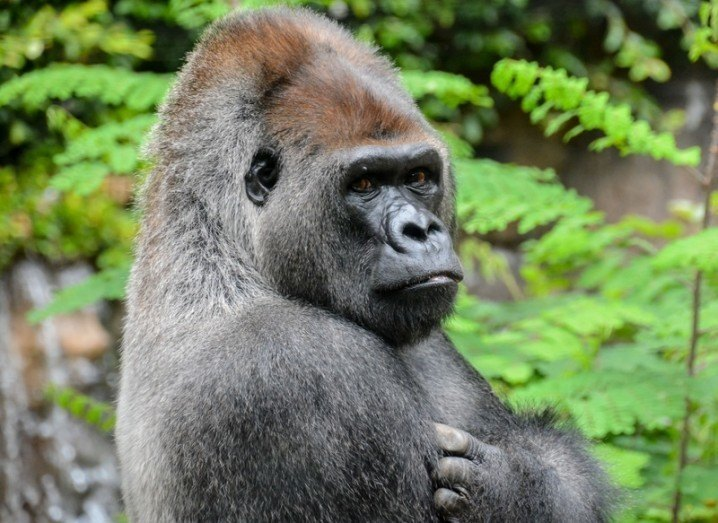This is not Shabani the handsome gorilla