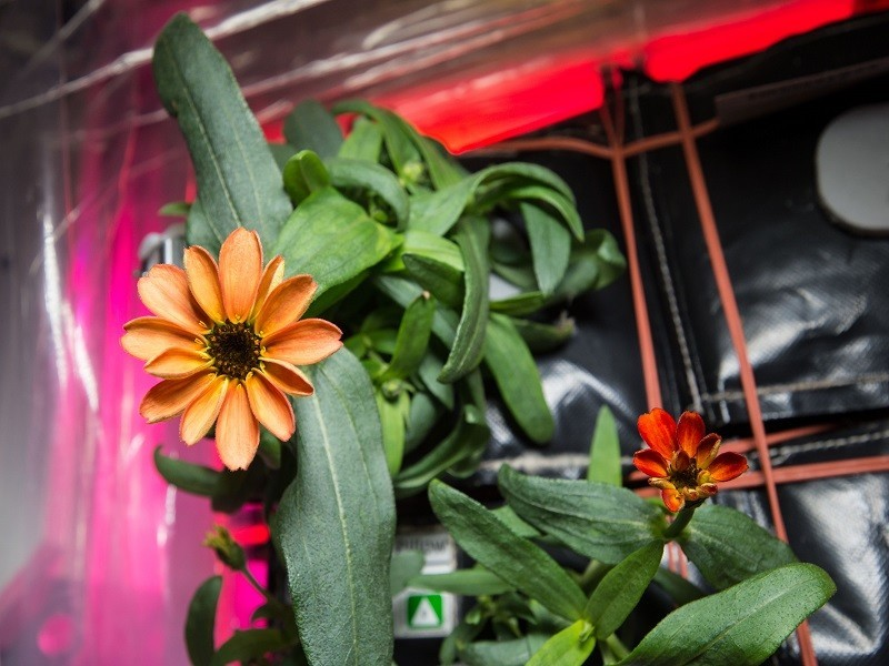 First space flower successfully grown aboard the ISS