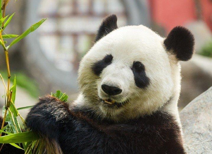 Panda optical illusion