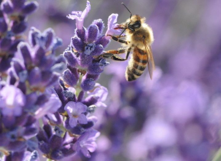 Bees pollinators