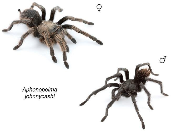 Johnny Cash spiders