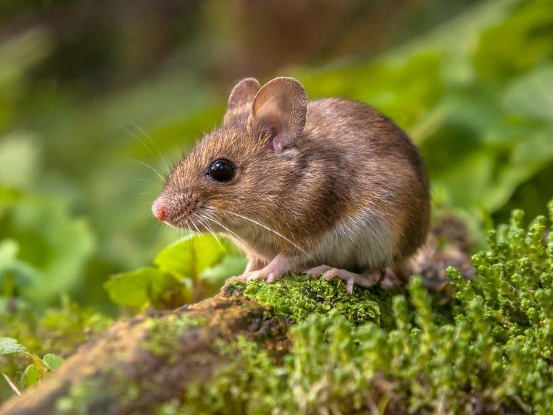 Biotech breakthrough slows ageing process in mice by 35pc