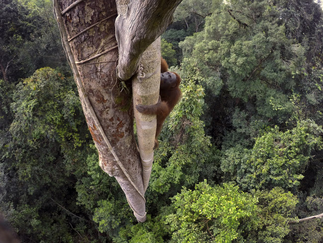 © Tim Laman - Tough Times for Orangutans 02 World Press Photo fo the Year