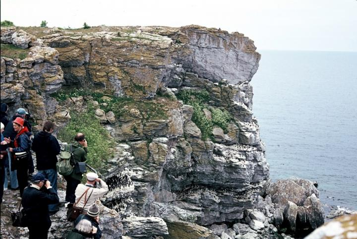 This is a tourist group looking at the common guillemot colony in island of Stora Karlsö in 1975, via Lars-Erik Norbäck