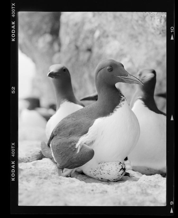 Incubating common guillemots in island of Stora Karlsö, via Aron Hejdström.