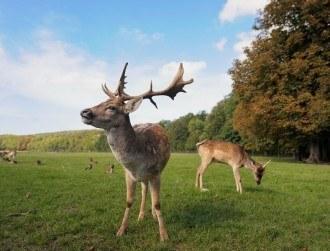 Rampaging, indestructible AI deer wreaking havoc in GTA V