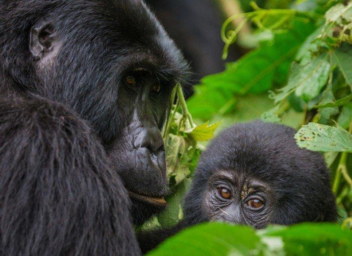gorilla chimpanzee y chromosome