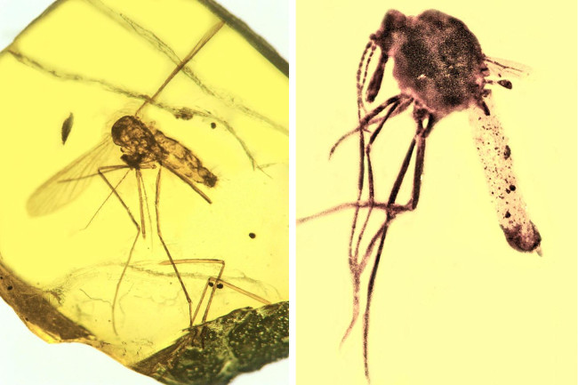 On the left is a 15- to 20-million-year-old mosquito Culex malariager, which was discovered in the Dominican Republic preserved in amber, and is infected with the malarial parasite Plasmodium dominicana. It's the oldest known fossil showing Plasmodium malaria, related to the type that today infects humans. On the right, however, is a biting midge five-times older, which shows numerous oocysts of the malarial parasite Paleohaemoproteusburmacis, evidence of the oldest ancestral strain of malaria ever discovered. Images via George Poinar Jr/Oregon State University