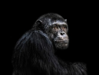 Rapid primate mutations raise evolution questions