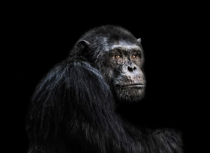 Chimpanzee primate evolution