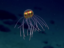 Bizarre jellyfish discovered in Marianas Trench