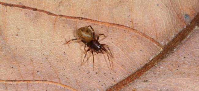 Mecysmaucheniid spider