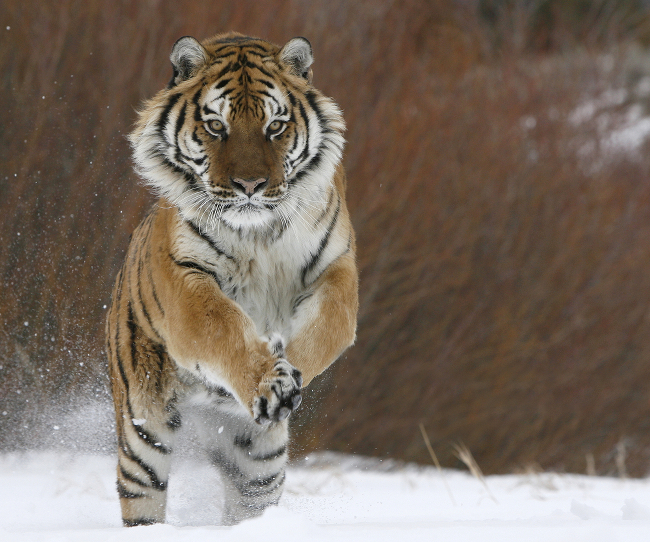 Siberian tiger running in snow, via Shutterstock