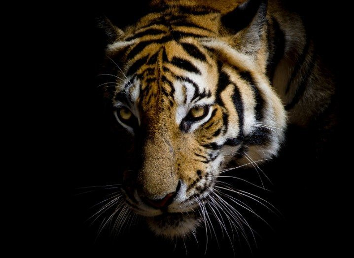 Tiger conservation extinct