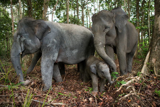 Asian Elephant (Elephas maximus indicus) endangered, via Shutterstock