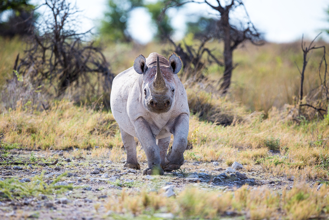 Black rhino (Diceros bicornis) critically endangered, via Shutterstock Endangered Species