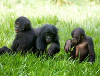 Chimps and bonobos chat by taking turns to gesture