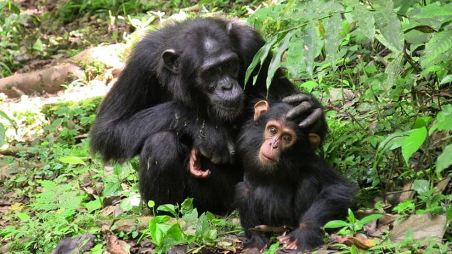 Mother chimp with her infant, both engage in more time-consuming communicative negotiations than bonobos, via M. Froehlich/Max Planck Institute for Ornithology