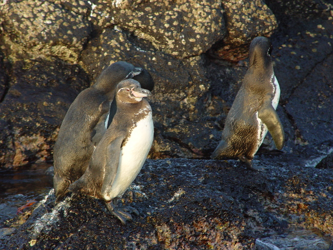 Galápagos Penguin (Spheniscus mendiculus) endangered, via Pete/Flickr/CC BY-SA 2.0/Wikimedia Commons