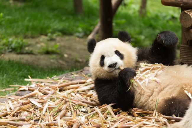 Giant panda eating bamboo (Ailuropoda melanoleuca) endangered, via Shutterstock