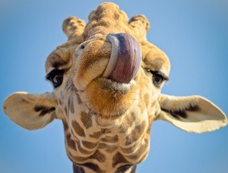 Why the long neck, giraffe? Genetic discovery offers best answer yet