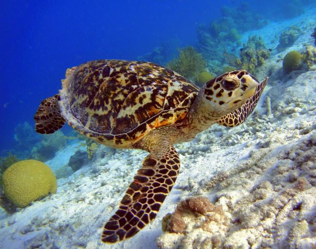 Hawksbill Turtle (Eretmochelys imbricate) critically endangered, via Shutterstock
